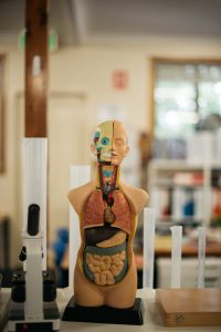 Anatomy model in Montessori classroom.