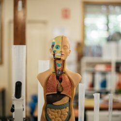 Anatomy model in Montessori classroom.
